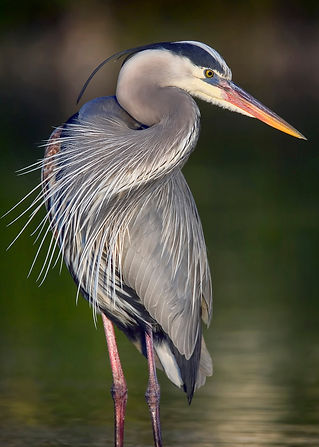 blue heron photo - Arnie_edited.jpg