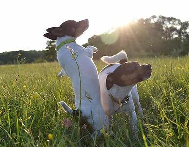 реал фокстрот питомник собак мелкой породы купить щенка амертой ставрополь санкт петербург домашний любимец верный друг