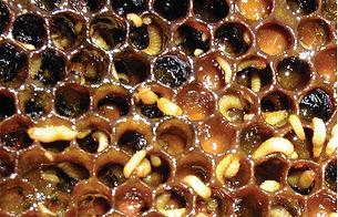 small_hive_beetle_damage.jpg