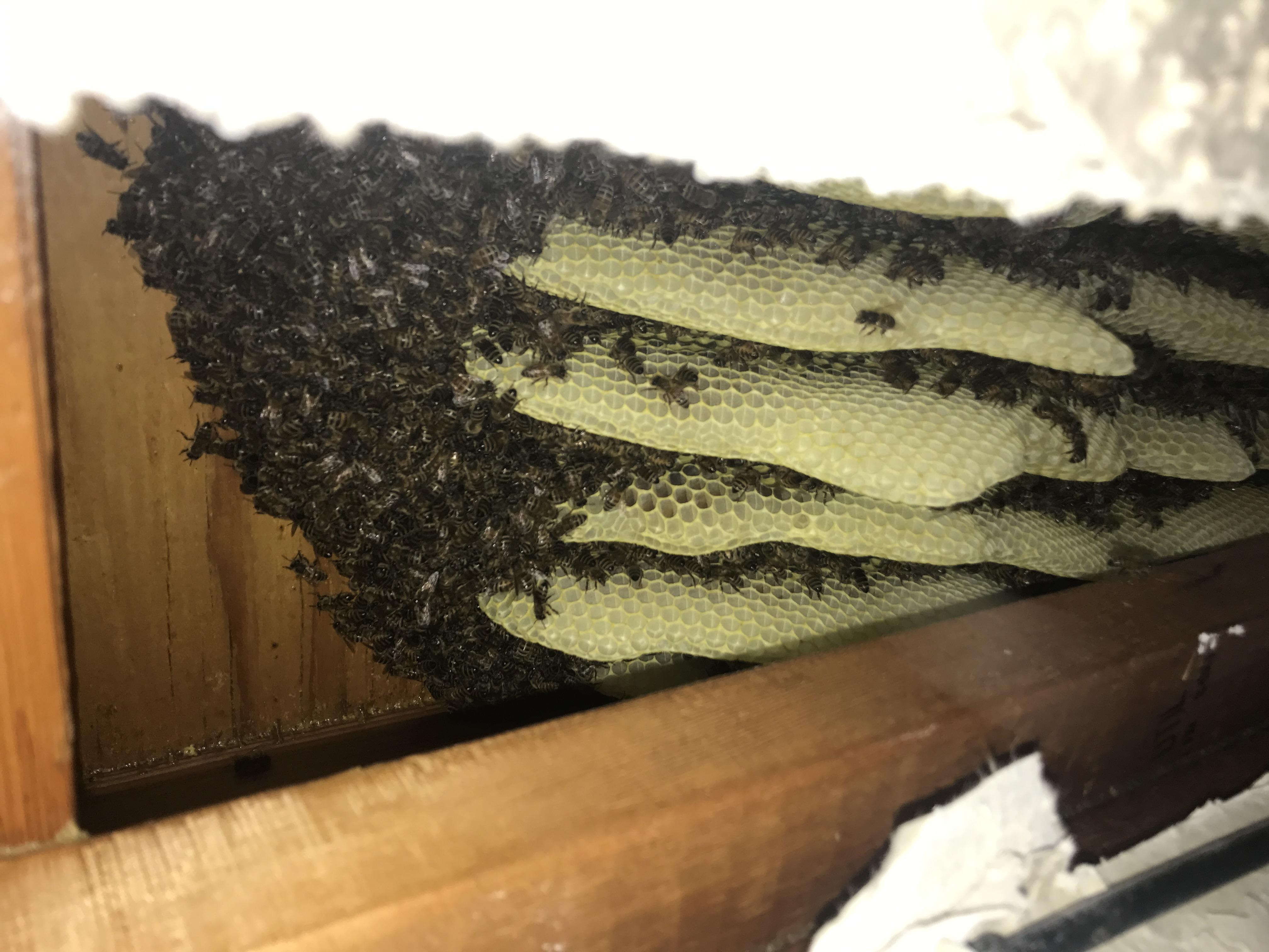 Davis Removal Bee Closeup