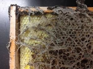 wax_moth_damage.jpg