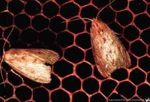 Adult-wax-moth.jpg