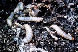 wax-moth-larva.jpg