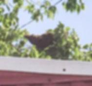 European Honey Bee Swarm Removal Oklahoma City, OK by Asher Honey Bees