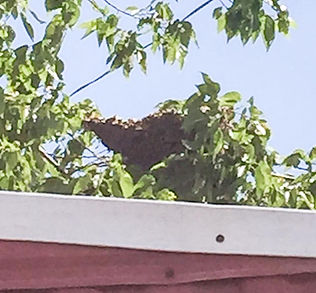 European Honey Bee Swarm Removal Oklahoma City, OK by Asher Honey Bees