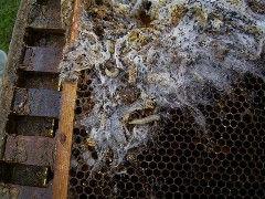 wax moth damage.jpg