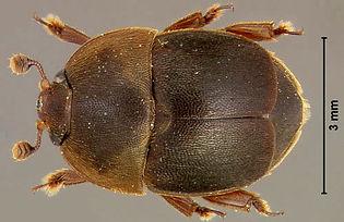 small_hive_beetle.jpg