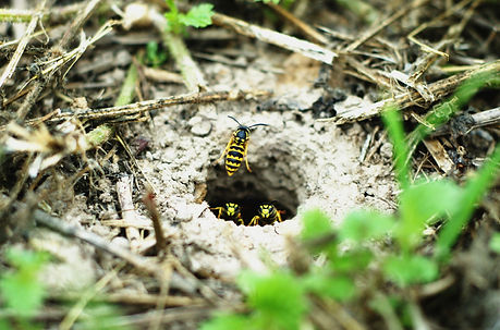 Yellow Jacket Nest in ground
