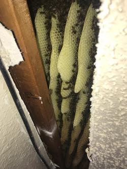 Davis OK Honey Bee Removal