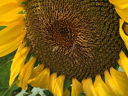 SWOBA Sunflower.jpg