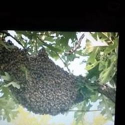 Hive Swarm High in Tree Closeup