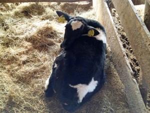 先月一日に生まれた仔牛の今──