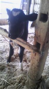 子牛生まれました!