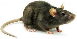 dératisation bordeaux, dératisation libourne, rats, nuisibles, souris, élimination de rat, raticide, piège à rats, dératisation en gironde, dératiseur en gironde