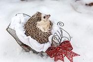 Hedgehog Loki