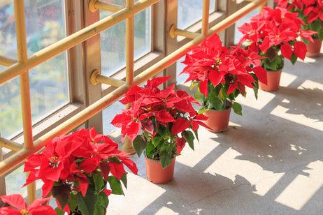 Poinsettia 2 Resize.jpg