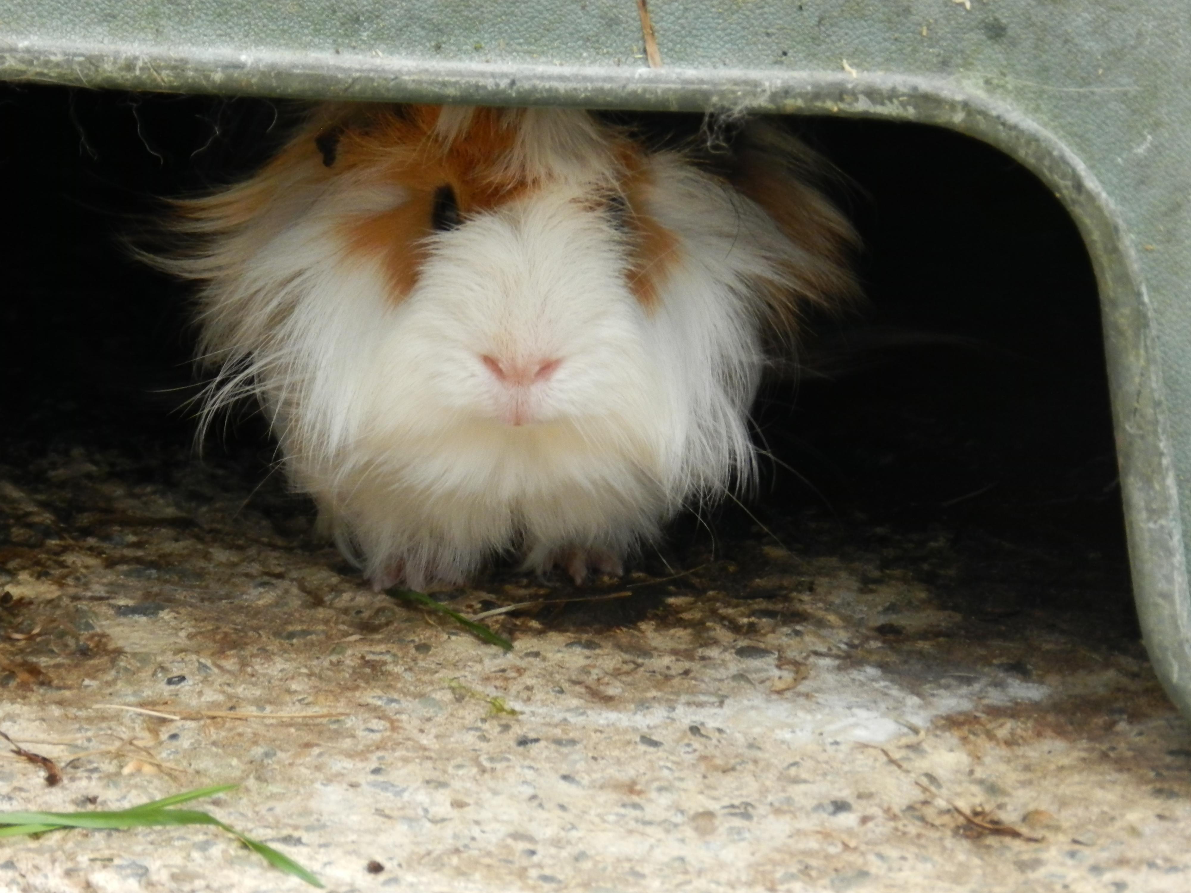 Hello guinea pig!