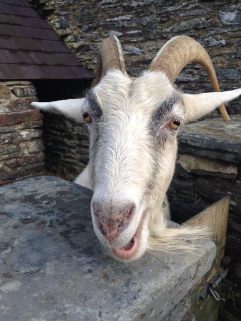 Malarkey th Goat