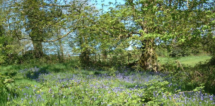 Wildflowers at Dolbryn 4.jpeg