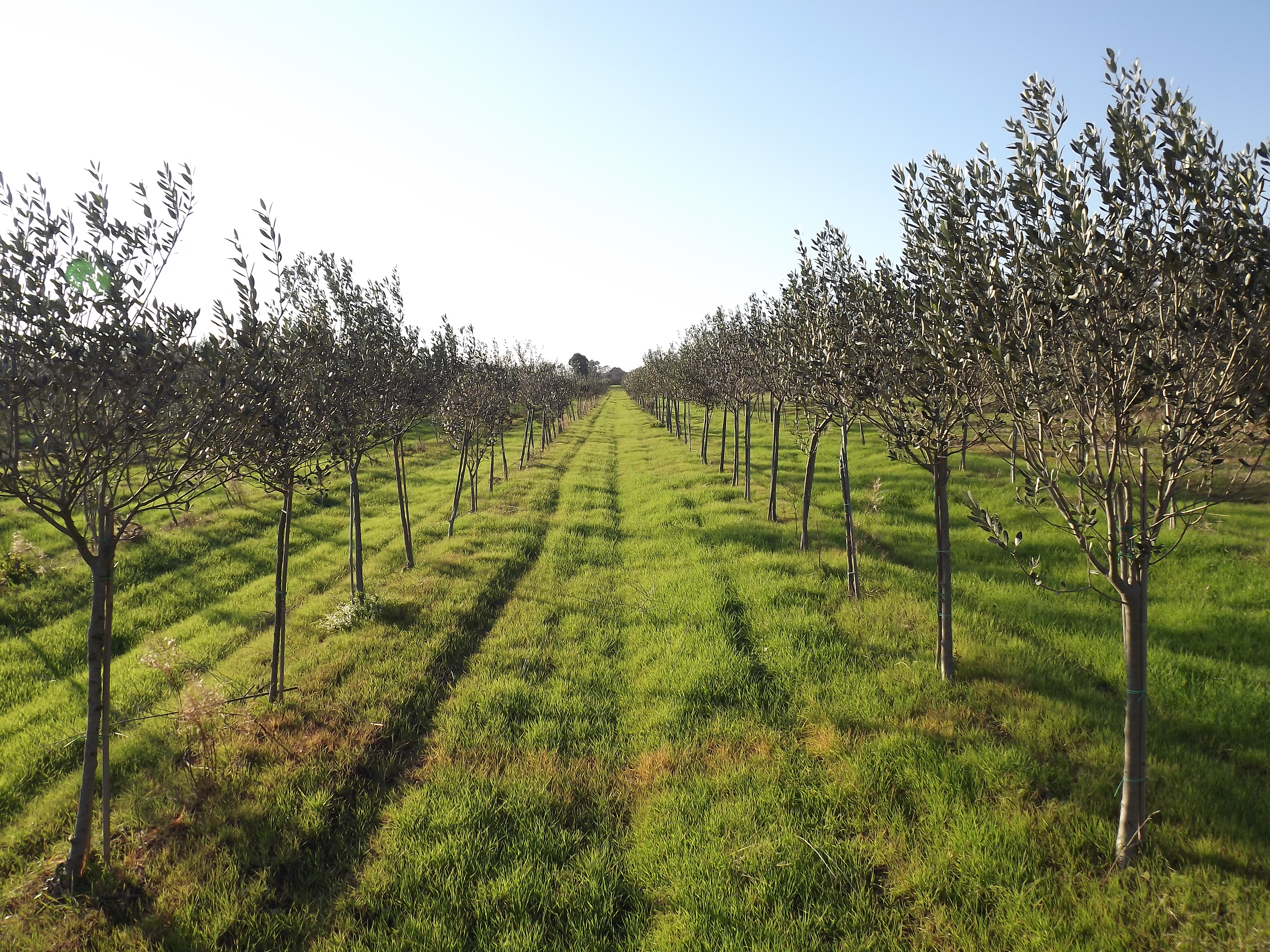 Intensive Olive Grove