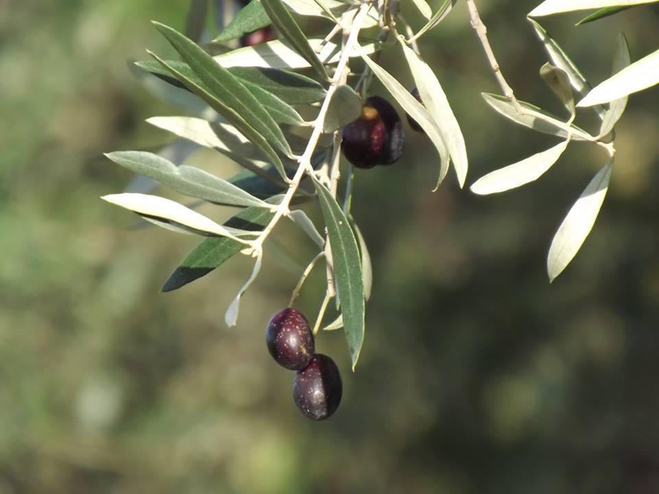Drupa di olivo