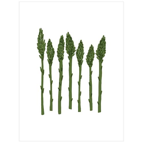 asparagus - white
