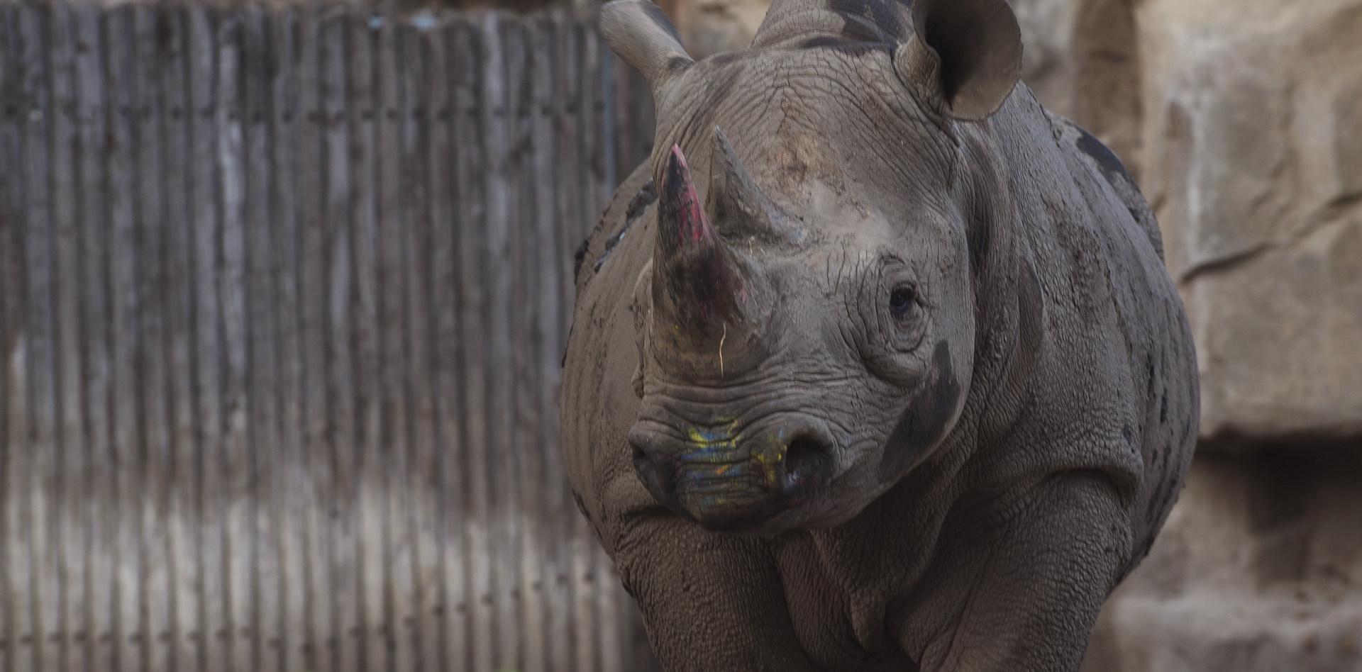 Lincoln Park Zoo Rhino