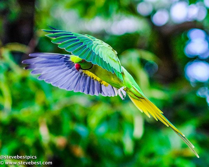 Parakeet Flight