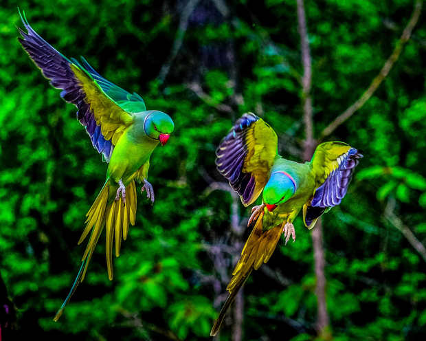 Twin Parakeets