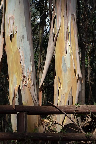 Dancing Trees (I), Karura Forest, Kenya, 2019