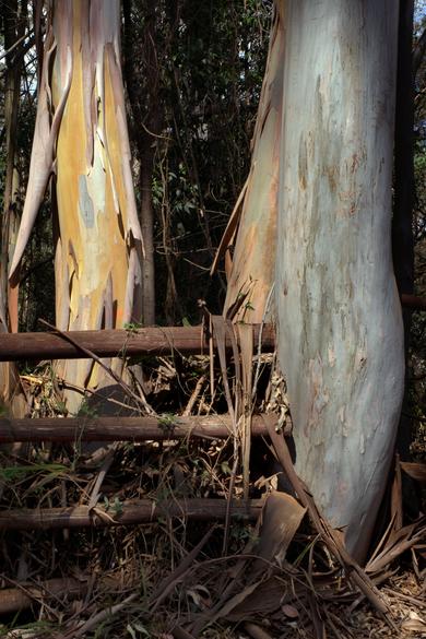Dancing Trees (II), Karura Forest, Kenya, 2019