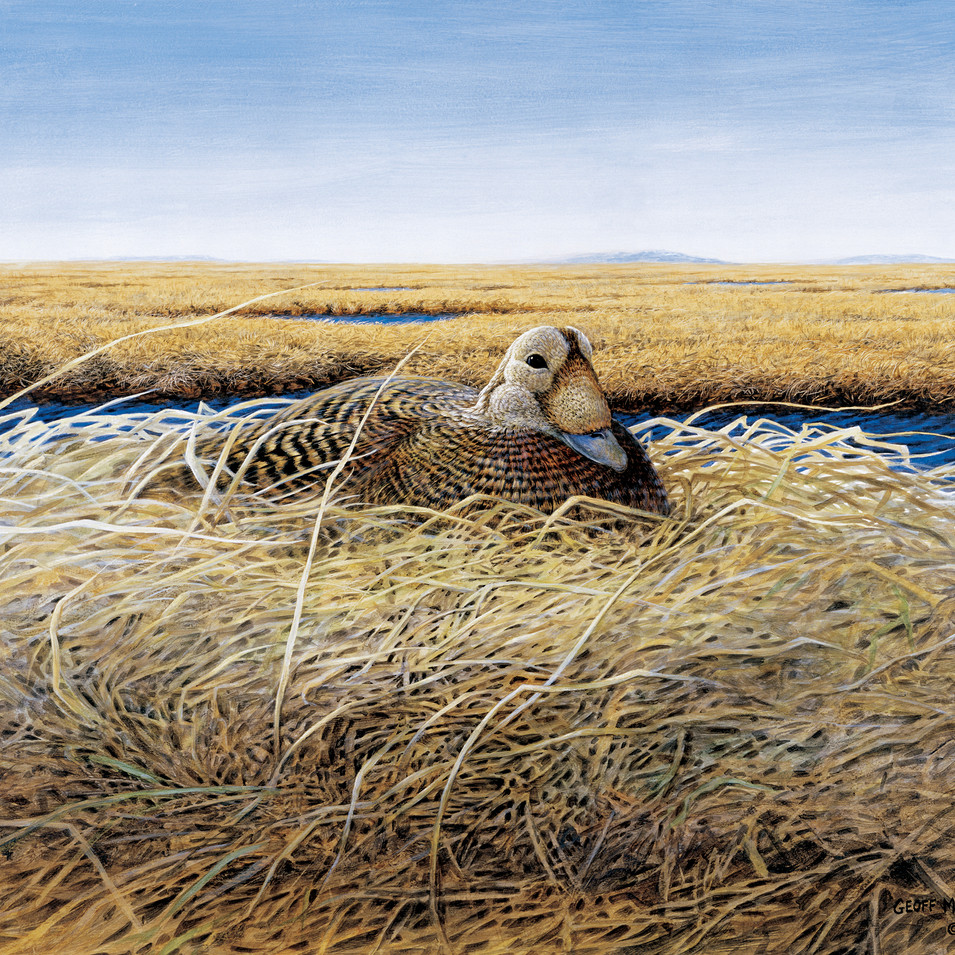 Speckled Eider on the Y-K Delta