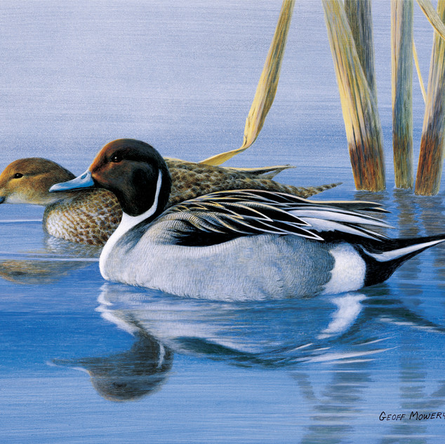 Pintails at Daybreak