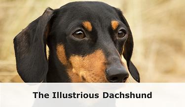 illustrious_dachshund_a22b67a4-af60-465f