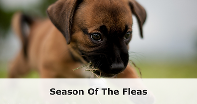 season_of_the_fleas_1024x1024.png