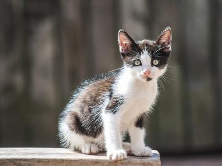 Los secretos del Sida Felino