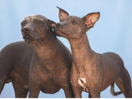 Lo que no sabías de un Xoloitzcuintle