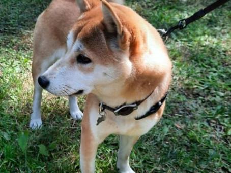 Lo que no sabías de un Shiba Inu