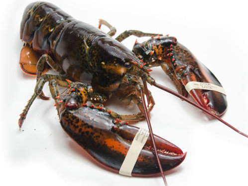 Live Lobster 550g-600g- English