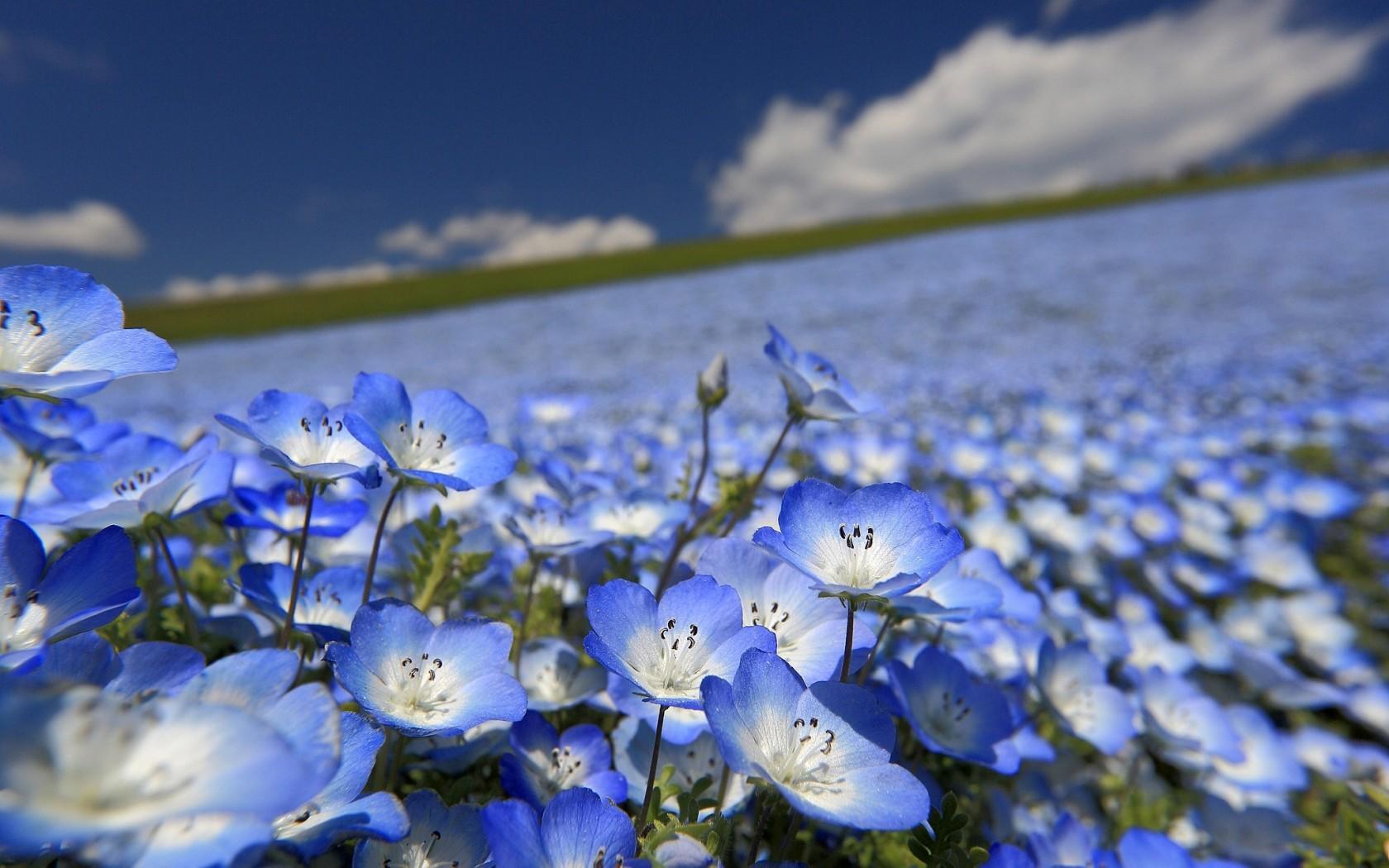 Flaxseed Flowers
