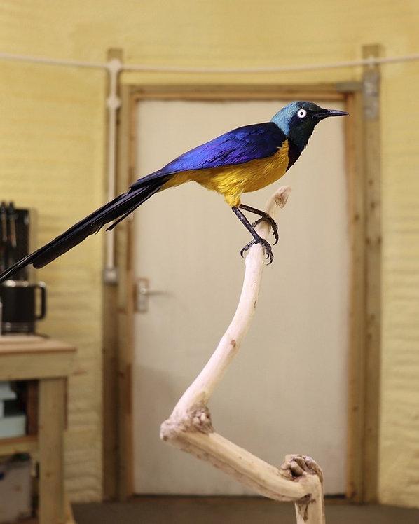 Royal Starling Taxidermy