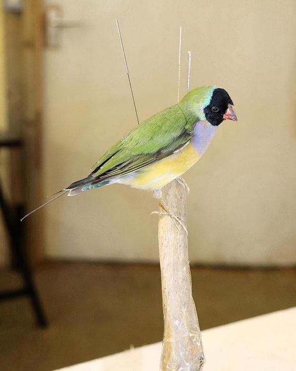 Gouldian Finch in progress