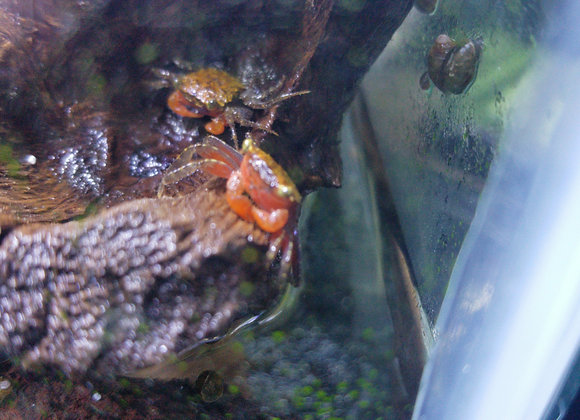 Red Devil Crabs