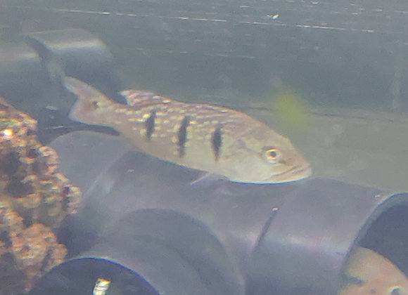 Jumbo Temensis Peacock Bass 10-12 inch (Cichla temensis)