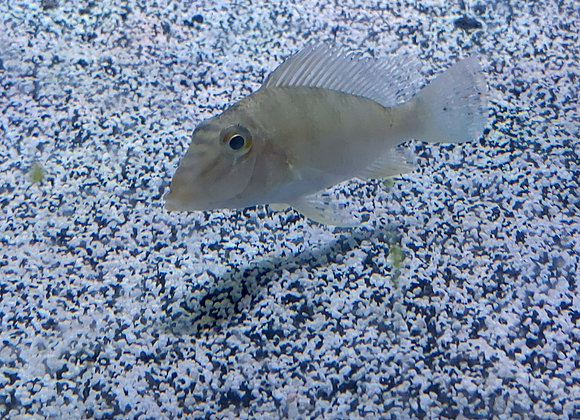 Wild Caught Geophagus Jurupari 3-5 inch