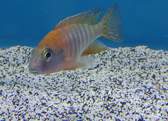 Ruby Red Peacock 4-5 inch