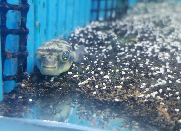 Fahaka pufferfish (Tetraodon lineatus) 2-3 inch