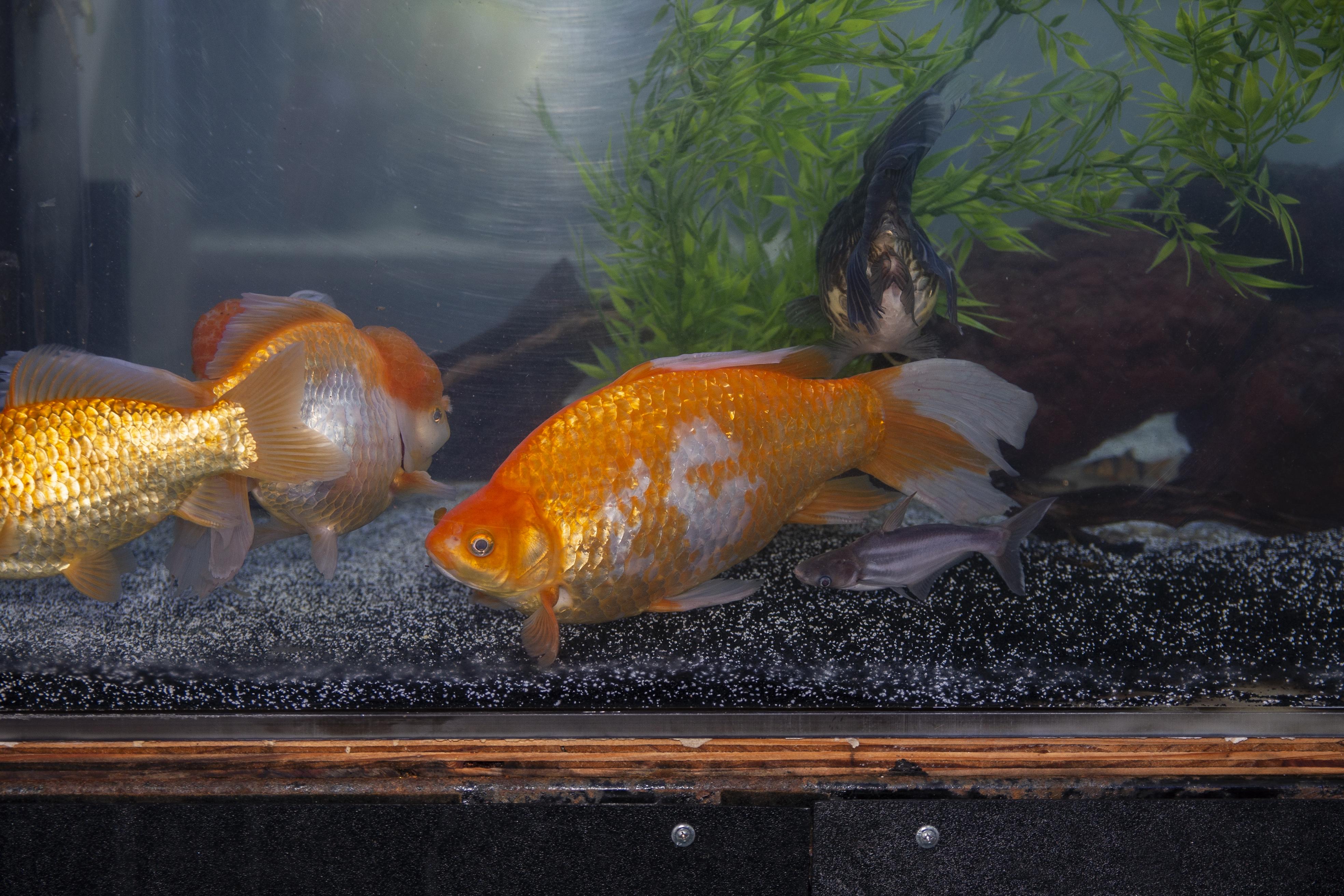 Angry Fish Sales
