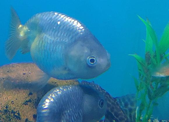 Thai Lionhead goldfish 3-4 inch Body
