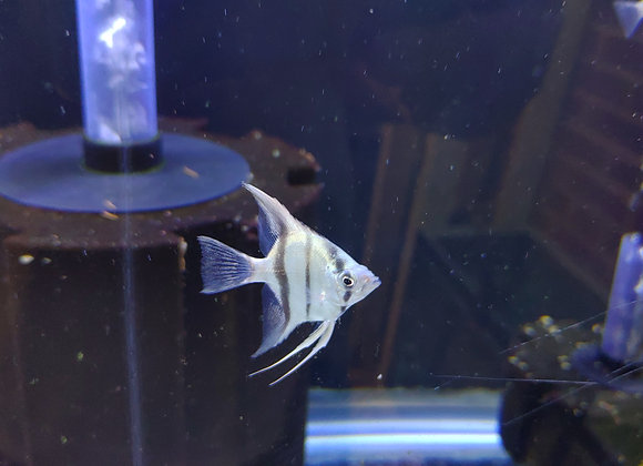 Blue Zebra Angelfish (Pterophyllum scalare) Medium